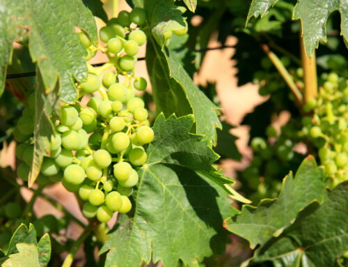 Know the types of grapes and their gifts to our palate
