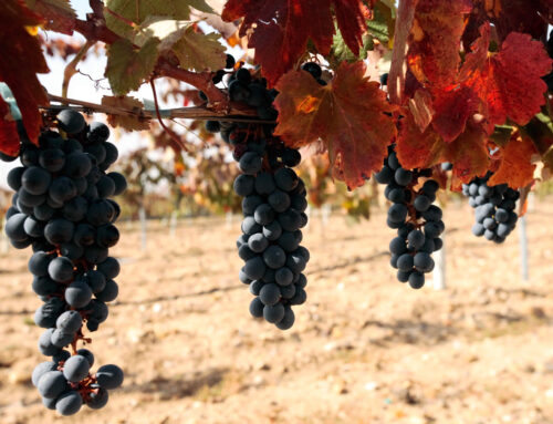 Grape treading, a toast to traditions