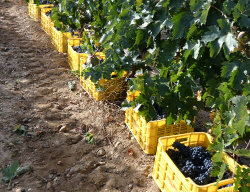 Harvest (III): How it is carried out in Barcolobo