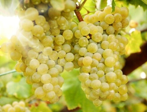 Types of Grape (II): the most important varieties of Spain